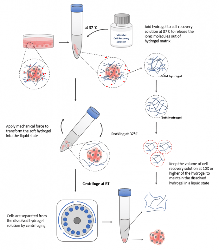 Overview of 3D and 2D cell harvesting with enzyme-free VitroGel Cell Recovery Solution
