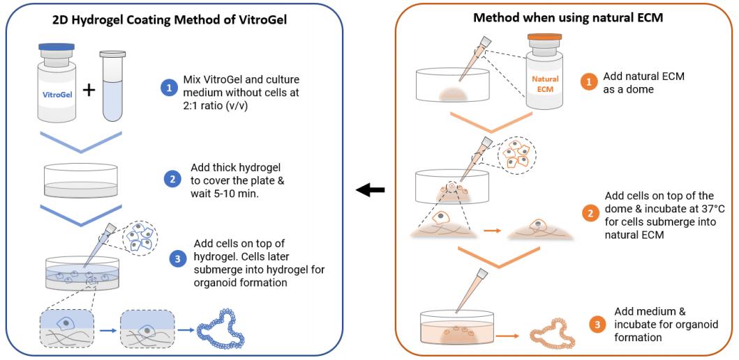 Organoid culture on 2D hydrogel workflow